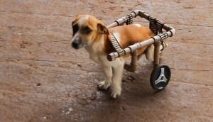 Cachorro perde movimento das pernas e ganha cadeira de rodas para se locomover -