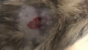 Missal: Cães e Gatos estão sendo mortos por tiro de espingarda de pressão -