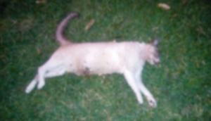 Medianeira: Envenenamento causa morte de três gatos e moradores denunciam  -