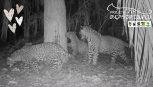 Onça Cacira é filmada passeando com os filhotes no Parque Nacional do Iguaçu -